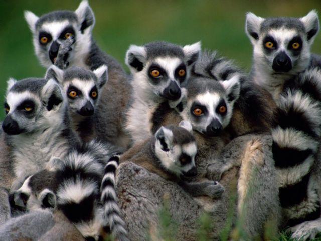 SOS για τους λεμούριους | tovima.gr