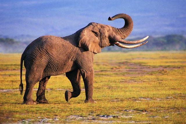 Βασιλιάδες της όσφρησης οι ελέφαντες | tovima.gr
