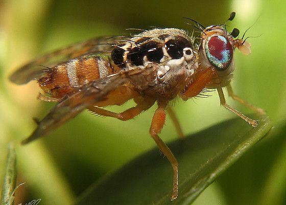 Γονιδιακό «απόσπασμα» για τη μύγα της Μεσογείου | tovima.gr