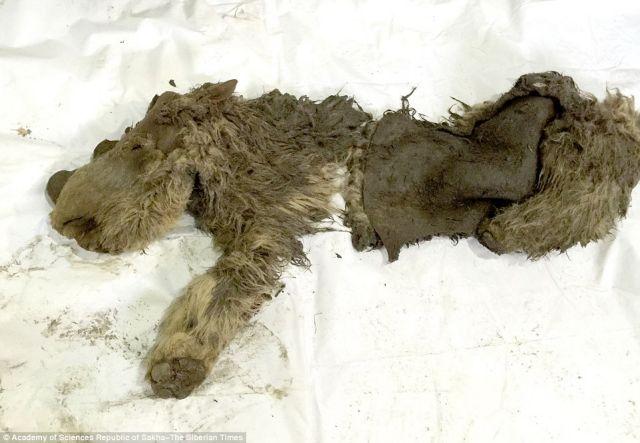 Βρέθηκε μωρό τριχωτού ρινόκερου | tovima.gr