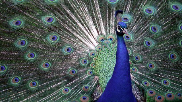 Τα παγώνια «μιλάνε» με τα φτερά τους | tovima.gr