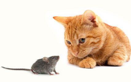 Οι γάτες «μαγεύουν» τα ποντίκια μέσω των ούρων τους | tovima.gr