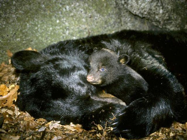 Τα βακτήρια του εντέρου «ρίχνουν» τις αρκούδες σε χειμερία νάρκη | tovima.gr