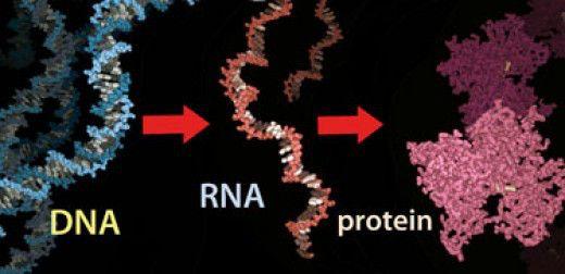 Είδαν πώς γεννιούνται οι πρωτεΐνες   tovima.gr