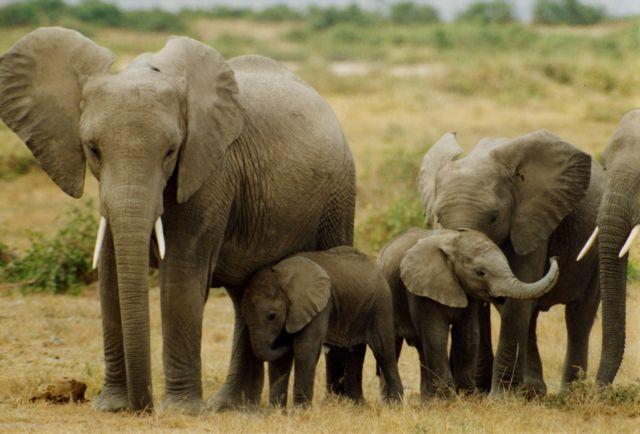 H εξαφάνιση των ελεφάντων | tovima.gr