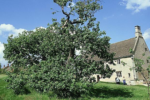 Η ιστορική μηλιά του Νεύτωνα θα αποκτήσει… απογόνους   tovima.gr