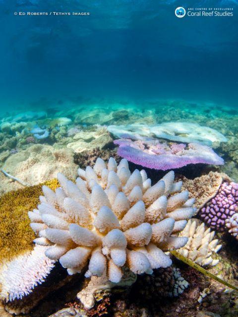 Η ζέστη ξεβάφει τα κοράλλια | tovima.gr