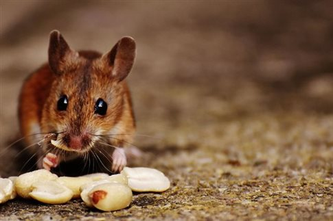 Ποντίκι, ο αρχαιότερος συγκάτοικος του ανθρώπου | tovima.gr