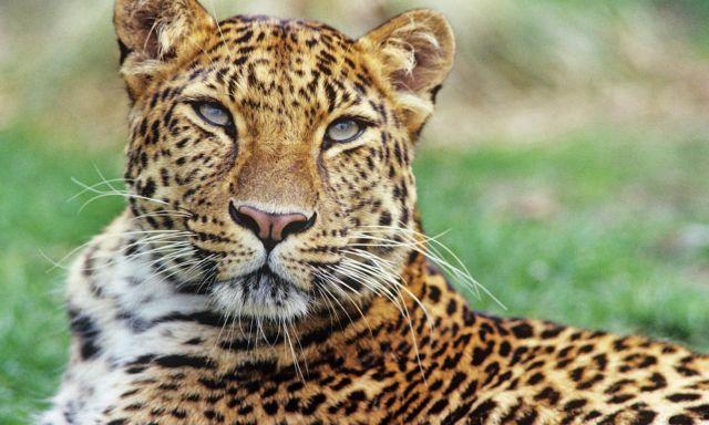 Αναπαραγωγή «άγριας» λεοπάρδαλης του Αμούρ στη Σκωτία | tovima.gr