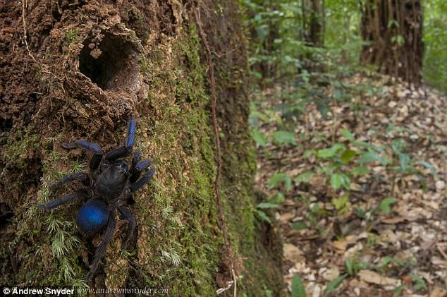 Εξερευνητές «ξετρύπωσαν» άγνωστη μπλε ταραντούλα   tovima.gr
