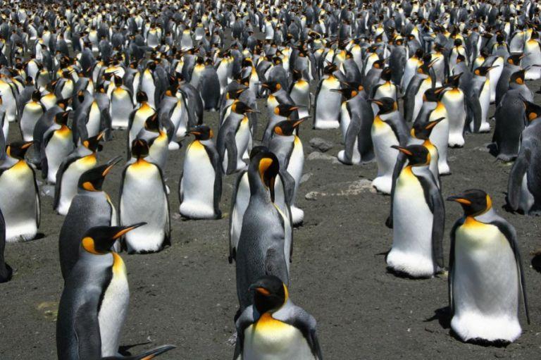 Οι βασιλικοί πιγκουίνοι κινδυνεύουν | tovima.gr