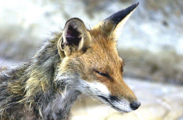 Από τον Οκτώβριο 2012 ως σήμερα 44 λυσσασμένες αλεπούδες | tovima.gr