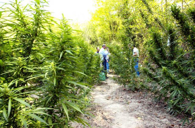 Ρέθυμνο: 15 φυτείες με πάνω από 3.000 δενδρύλλια κάνναβης | tovima.gr