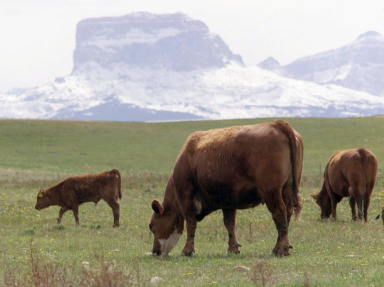 ΗΠΑ – Καλιφόρνια: Νέο κρούσμα της νόσου των τρελών αγελάδων | tovima.gr