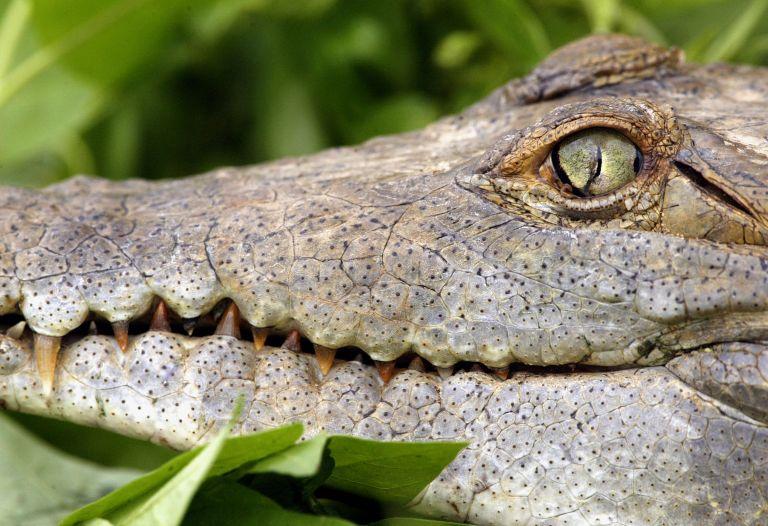 Κροκόδειλος έφαγε ένα 11χρονο αγόρι στην Παπούα Νέα Γουινέα | tovima.gr