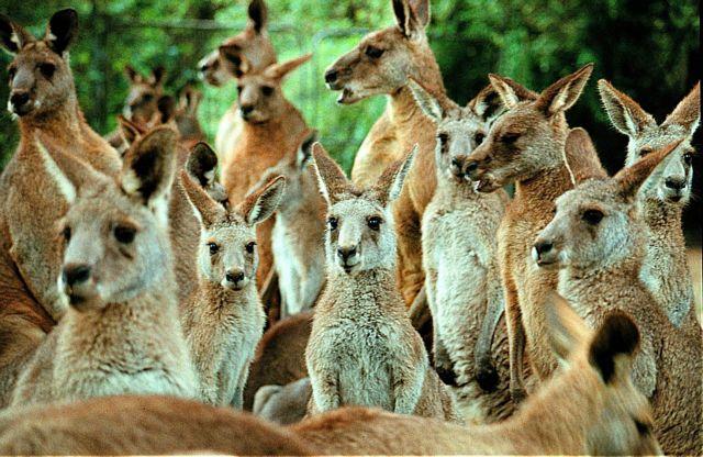 Αυστραλία: Επίθεση καγκουρό σε τουρίστες που τα φωτογράφιζαν | tovima.gr