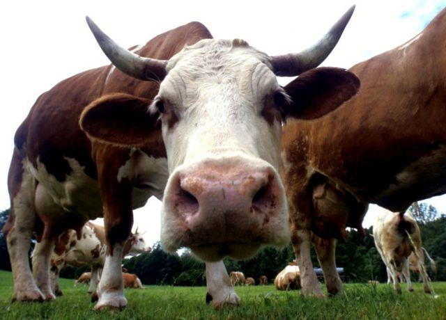 Τουρκία: Ανεπιθύμητα και τα βοειδή από Ολλανδία | tovima.gr