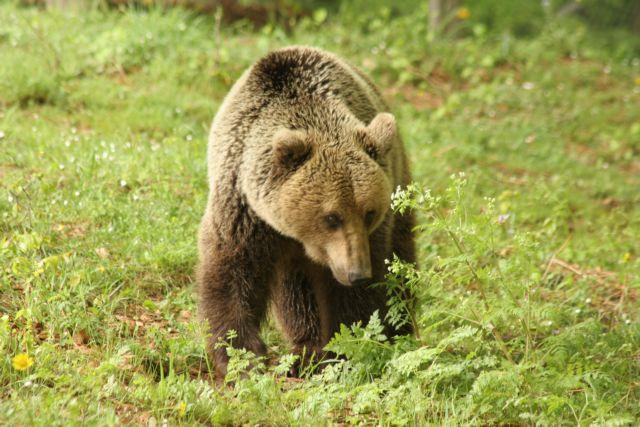 Ξυπνητούρια ύστερα από ενάμιση μήνα για τις αρκούδες στο Νυμφαίο | tovima.gr