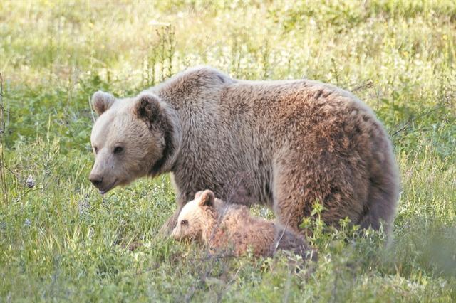 Ανθρωπος και αρκούδα σε ένα «πείραμα» συνύπαρξης   tovima.gr