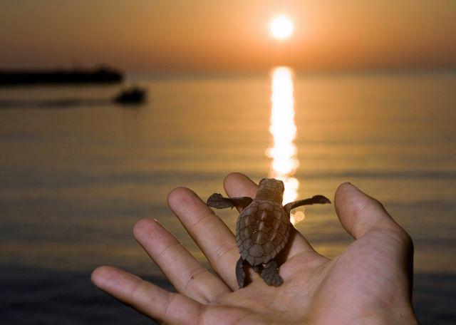 Τα πρώτα χελωνάκια του 2016 κολυμπάνε στα νερά της Κρήτης | tovima.gr