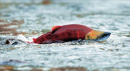 Η εξαφάνιση των κόκκινων σολομών | tovima.gr