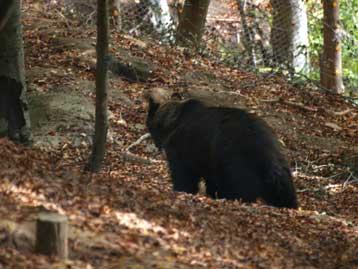 Ένα μήνα αργότερα, λόγω καλοκαιρίας, «κοιμήθηκαν» οι αρκούδες | tovima.gr
