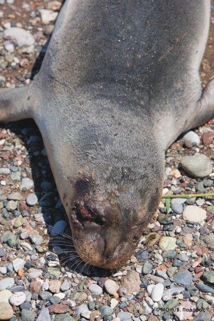 Με δυναμίτη σκότωσαν φώκια στη Σάμο   tovima.gr