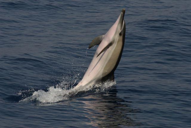 Ελπίδες για επανεμφάνιση σπάνιου είδους δελφινιού   tovima.gr