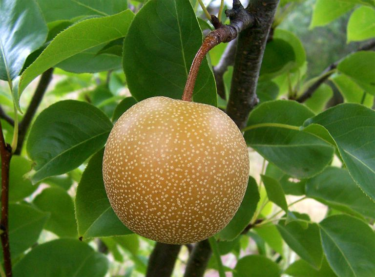 <b>Nashi</b>Νέο «σούπερ» ιαπωνικό φρούτο ευδοκιμεί στην Κύπρο | tovima.gr