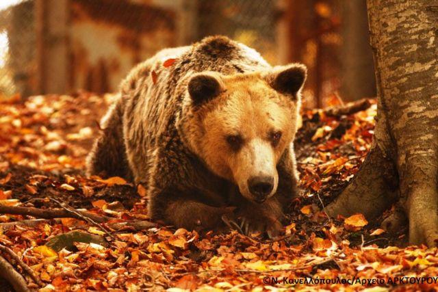 Πέθανε στο Νυμφαίο ο Ανδρέας, ο γηραιότερος αρκούδος του κόσμου | tovima.gr