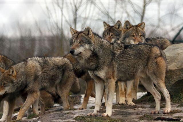 Η κραυγή του λύκου ακούγεται ξανά στην Ευρώπη | tovima.gr