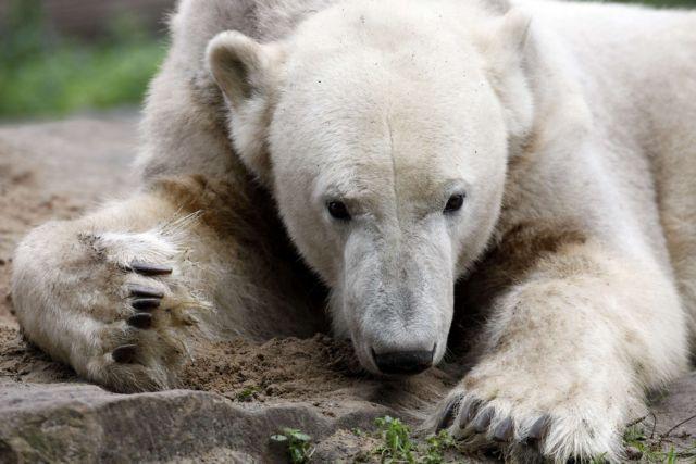Πέθανε ο διάσημος αρκούδος Κνουτ   tovima.gr