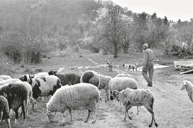 Ο ιός σώζει τα αρνάκια και… σταυρώνει τους κτηνοτρόφους   tovima.gr