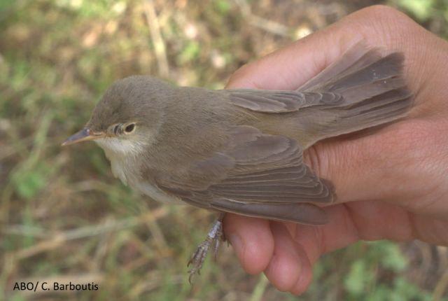 Η καστανοστριτσίδα, ένα νέο είδος πουλιού ανακαλύφθηκε στην Ελλάδα | tovima.gr