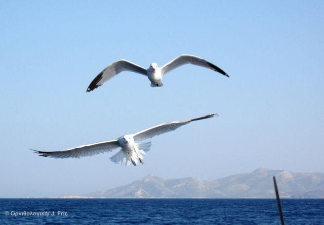 Ταξιδεύοντας στο Αιγαίο με τα θαλασσοπούλια | tovima.gr