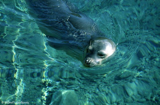 Οι περιπέτειες της μεσογειακής φώκιας στην Ελλάδα | tovima.gr