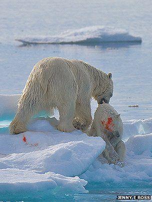 Οι πολικές αρκούδες εξωθούνται στον καννιβαλισμό | tovima.gr