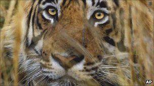 Ενα ολόκληρο χωριό μετακόμισε για να προστατευθούν οι τίγρεις στην Ινδία | tovima.gr