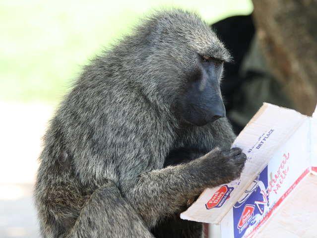 Μπορούν οι πίθηκοι να διαβάσουν; | tovima.gr