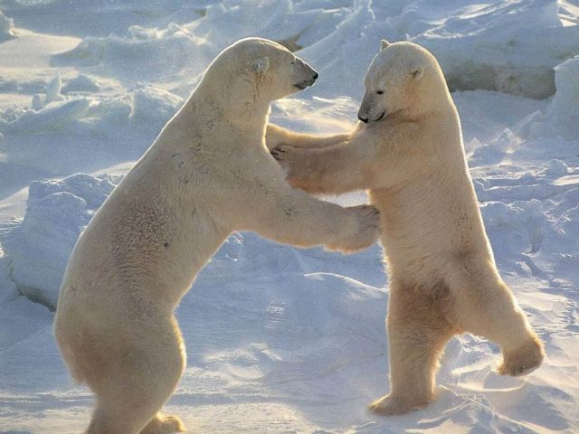 Πανάρχαιες οι πολικές αρκούδες | tovima.gr