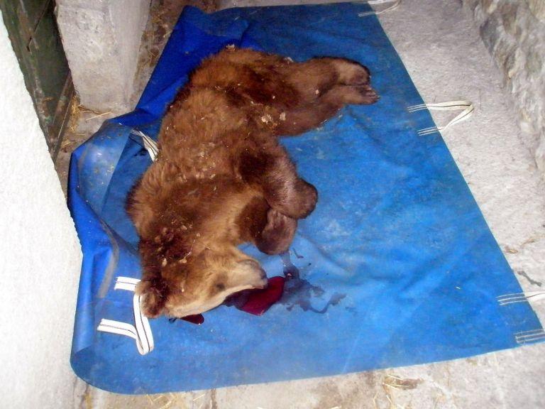 Δύο αρκούδες νεκρές στη Μακεδονία   tovima.gr
