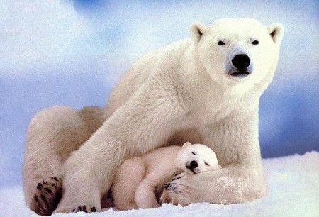 Δεινοί κολυμβητές οι πολικές αρκούδες | tovima.gr