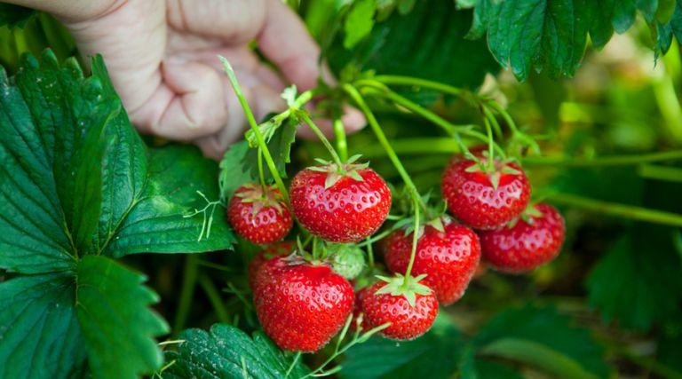 Φράουλες | tovima.gr