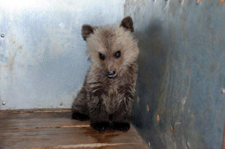 Γρεβενά: Βρέθηκε ορφανό αρκουδάκι τεσσάρων μηνών   tovima.gr
