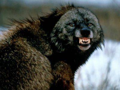 Λύκοι σκότωσαν γυναίκα φύλακα ζωολογικού κήπου στη Σουηδία | tovima.gr