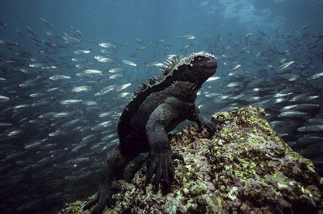 To «υποβρύχιο» ιγκουάνα | tovima.gr