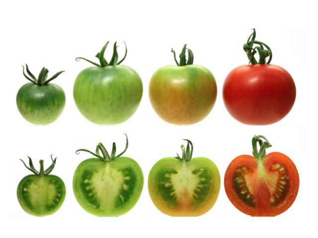 Γιατί οι ντομάτες του σουπερμάρκετ είναι άνοστες; | tovima.gr