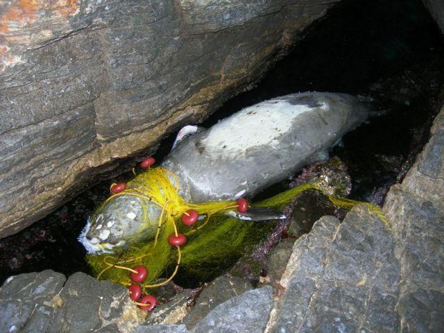 Κι άλλη μεσογειακή φώκια νεκρή στη Σάμο | tovima.gr