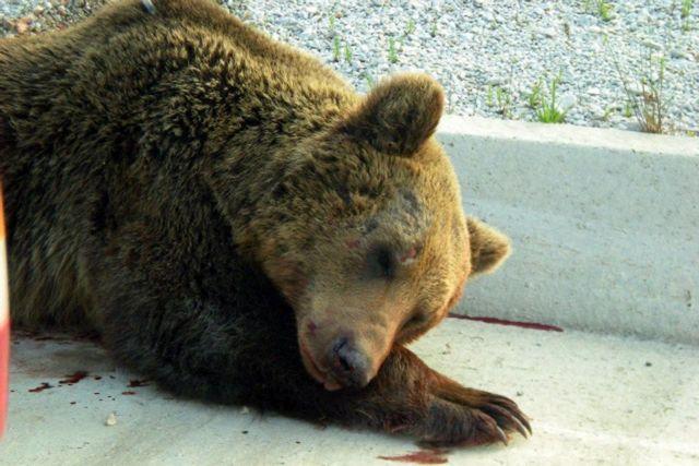 Νεκρή αρκούδα από τροχαίο στην Φλώρινα   tovima.gr