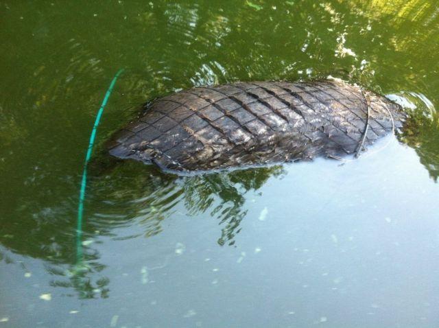 Βίδρα παγιδεύτηκε σε αλιευτικά εργαλεία | tovima.gr